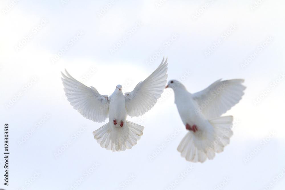 pair of white doves flying in the winter sky
