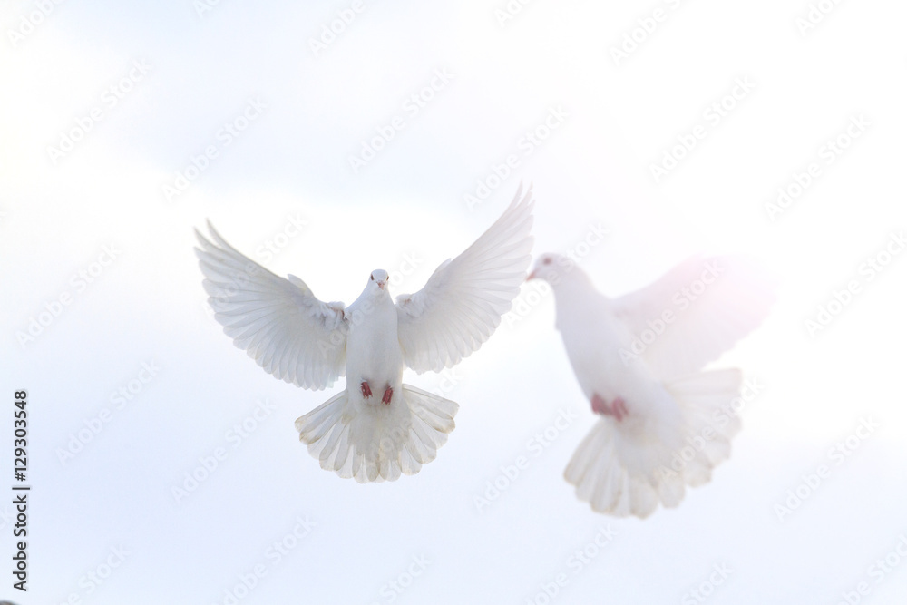 pair of white doves flying in the winter sky with sunny hotspot