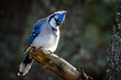Blue Jay - Cyanocitta cristata, perched in a tree, making eye contact. Rim lit with bokeh of leaves in the background.
