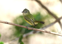 Yellow-olive Flycatcher (Tolmomyias Sulphurescens)
