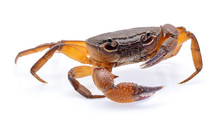 Fiddler Crab Isolated On White...