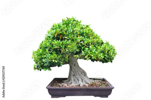 Aluminium Prints Bonsai Middle tree trim Bonsia in pot on white background.