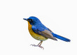 Hill Blue Flycatcher(Cyornis banyumas), beautiful bird isolated with white background.