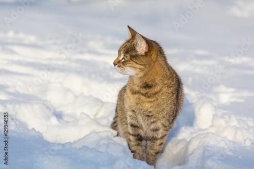 Foto auf Leinwand Luchs Cat in snow