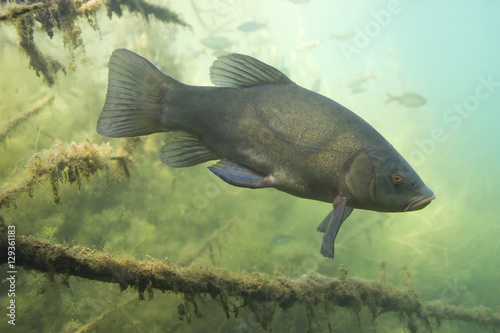 Fotografia, Obraz Freshwater fish Tench (Tinca tinca) in the beautiful clean pound