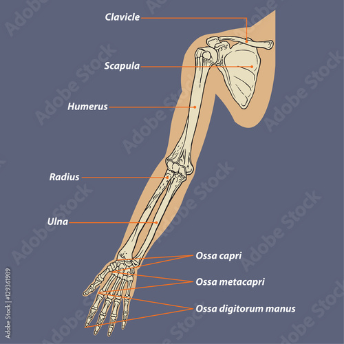 Human Arm Skeletal Anatomy Vector - Buy this stock vector and ...