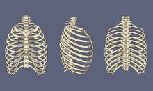 Human Rib Cage Skeletal Anatom...