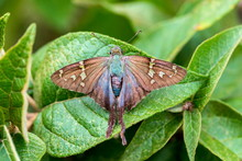 The Long-tailed Skipper Is A S...