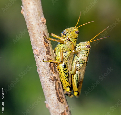 Bright green grasshoppers are found in the grasslands of Mexico. They are called Chapulines and also collected by the local people and are considered a tasty snack when roasted with chilies.