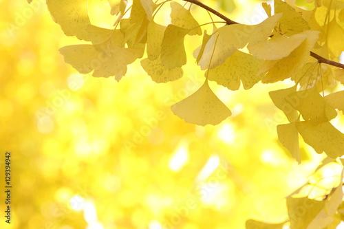 Fotobehang Zwavel geel イチョウの黄葉