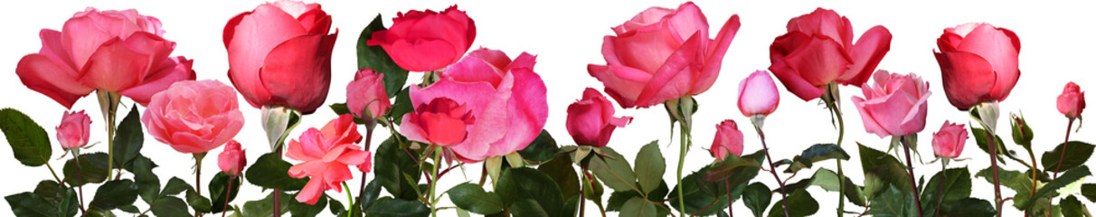 Panel SzklanyRed roses with isolated background. Banner,background