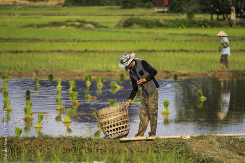Fotografie, Obraz  villagers in the rice field in laos