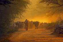 Man Going Back To Home  With Cow Herd At Sunset