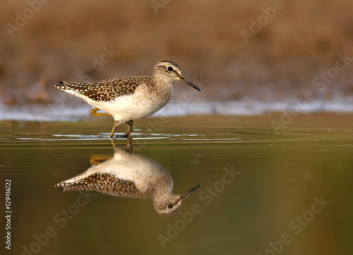 Photo  Wood Sandpiper Tringa glareola