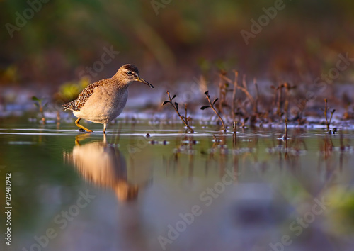 Photo  Wood Sandpiper / Tringa glareola
