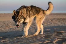 Wolf In The Desert