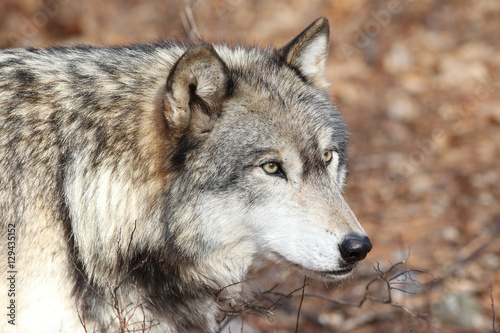 Photo  North American Gray Wolf