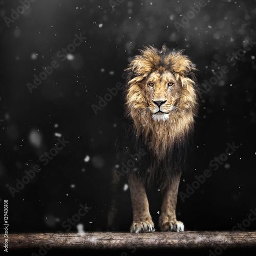 Foto op Plexiglas Leeuw Winter Portrait of a Beautiful lion, lion and snow