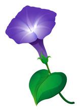 Morning Glory Flower In Purple...