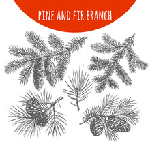 Christmas Pine, Fir Tree Branches And Cones Vector Sketch