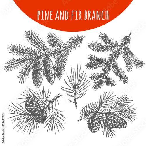 Obraz Christmas pine, fir tree branches and cones vector sketch - fototapety do salonu