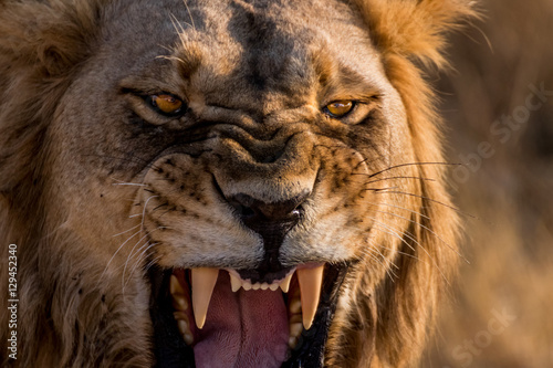 Foto op Aluminium Leeuw Lion Roar Up Close