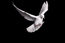White Dove Flying On Black Background For Freedom Concept In Clipping Path,international Day Of Peace 2017