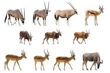 Set Of 11 Antelopes Isolated On White Background