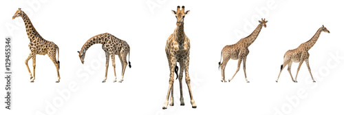 Set of five african giraffes in different posings Canvas Print