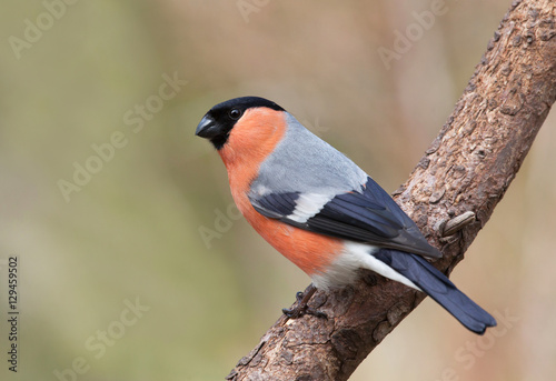 Photo bullfinch, common bullfinch or Eurasian bullfinch, Pyrrhula pyrrhula