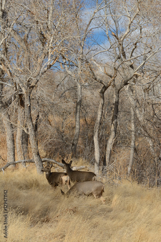 Wall Murals Bestsellers Mule deer resting in meadow surrounded by winter bare trees
