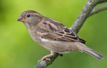 House Sparrow Posing For A Portrait