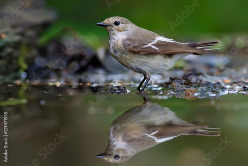 Fotografija  European pied flycatcher standing in water-mirror