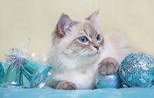 Siberian Neva Masquerade Cat On Blue Christmas Background