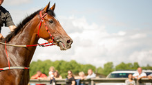 Racing Horse Portrait Close Up
