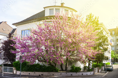 Beautiful Judas Tree in purple bloom in front of a house residence Billede på lærred