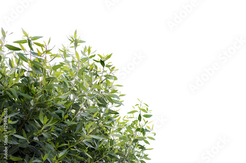 Tablou Canvas Green Bush, Green Leaves Isolated on White Background