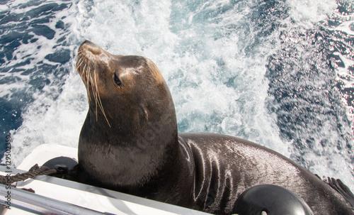Fototapeta premium California Sea Lion on the back of charter fishing boat in Cabo San Lucas Mexico