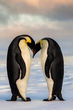 Two Emperor Penguins In Love