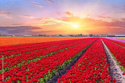 Keuken foto achterwand Rood Blossoming tulip fields in a dutch landscape at sunset in the Netherlands