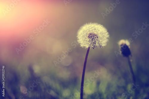 Fototapety, obrazy: Dandelion flower