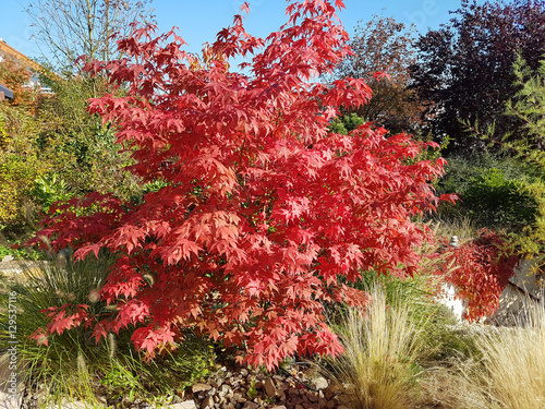 Faecherahorn, Herbst, Acer, palmatum, Osakazuki, japonicum;