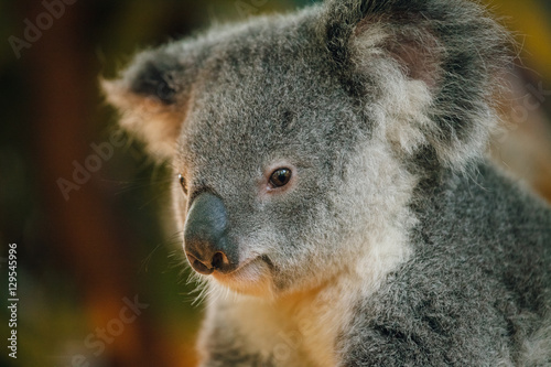 Garden Poster Koala a close up of cute baby koala bear