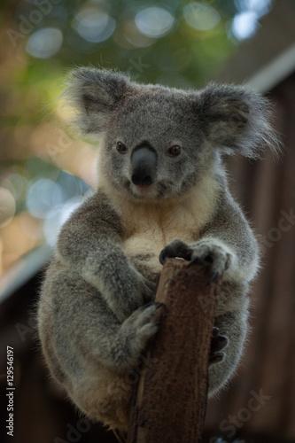 Fotobehang Koala A cute baby Koala bear