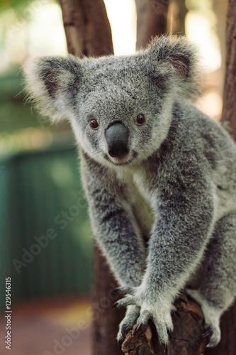 Foto op Aluminium Koala A cute baby Koala bear posing