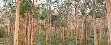 Boranup Karee Forest