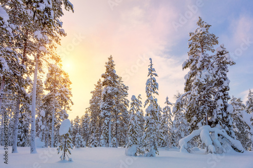 Gentle Winter Sundown - snowy forest landscape with big pine tre Canvas Print