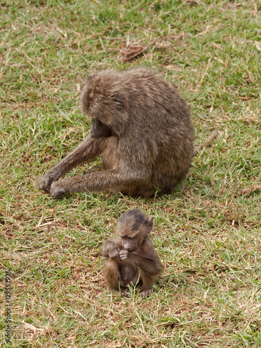Fotografie, Obraz  Yellow Baboon (Papio cynocephalus) female in profile and her kid in face sit on grass