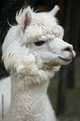 In de dag Lama Llama (Lama glama).