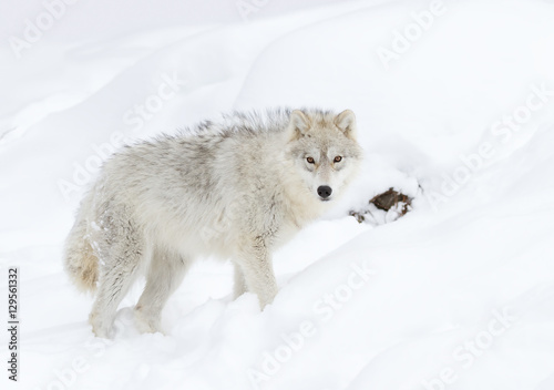 Tuinposter Ijsbeer A lone Arctic wolf (Canis lupus arctos) isolated on white background closeup in the winter snow in Canada